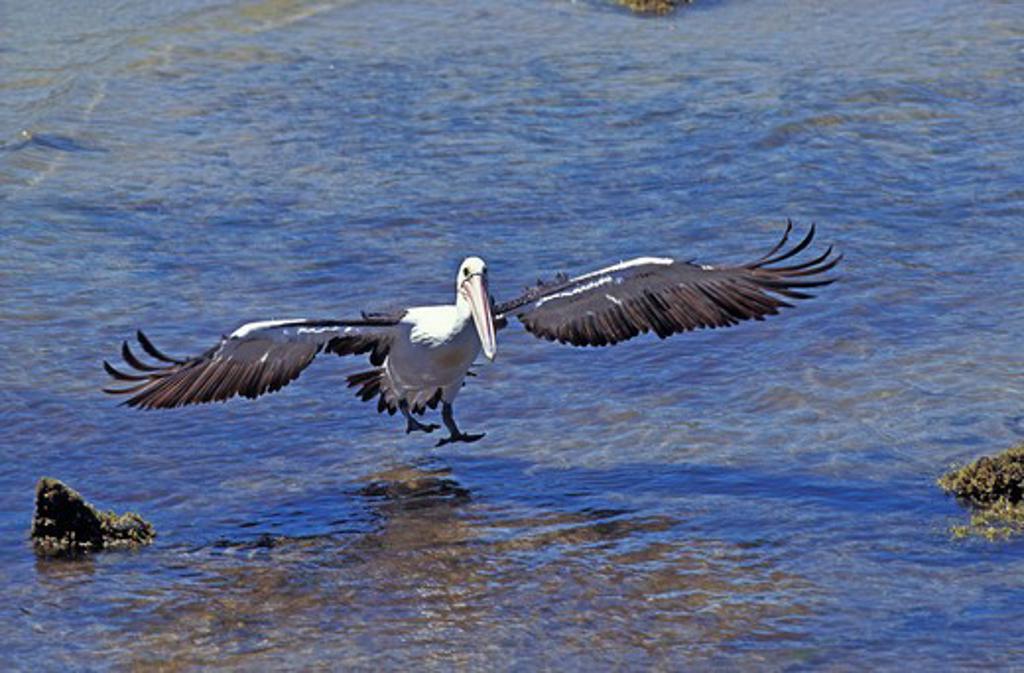 Stock Photo: 4273-3077 Australian Pelican Pelecanus Conspicillatus, Adult Landing On Water, Australia
