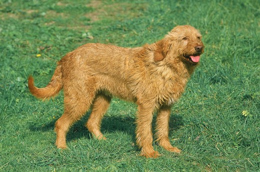 Fawn Brittany Griffon Or Griffon Fauve De Bretagne Dog, Adult Standing On Grass : Stock Photo