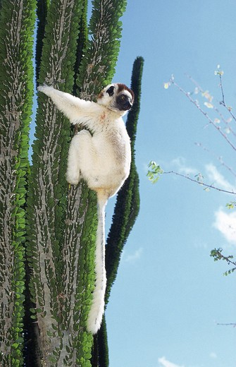 Stock Photo: 4273-3253 Verreaux'S Sifaka Propithecus Verreauxi, Adult On Madagascar Ocotillo Alluaudia Procera, Berenty Reserve In Madagascar
