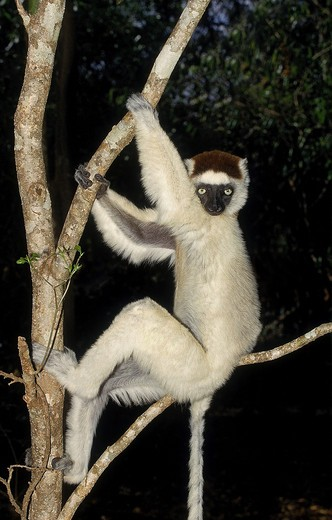 Stock Photo: 4273-3257 Verreaux'S Sifaka Propithecus Verreauxi, Adult Hanging In Tree, Berenty Reserve In Madagascar