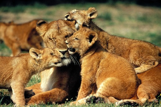 Stock Photo: 4273-3526 African Lion Panthera Leo, Female With Cub, Kenya