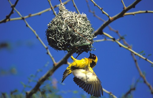Stock Photo: 4273-3569 Village Weaver Ploceus Cucullatus, Adult Ventilating Nest With Wings To Reduce Heat, Kenya