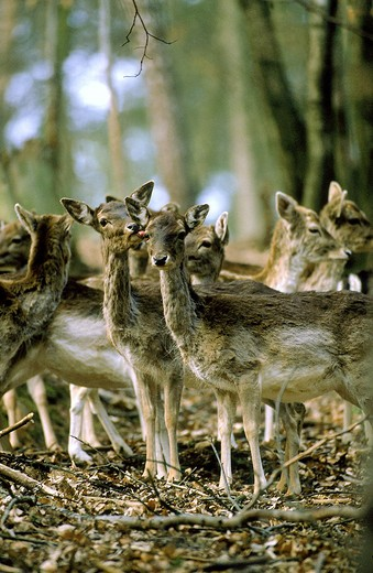 Fallow Deer Dama Dama, Herd Of Females : Stock Photo