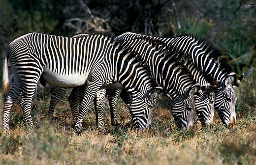 Stock Photo: 4273-3859 Grevy'S Zebra Equus Grevyi, Group Eating Grass, Kenya