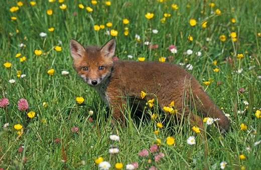 Red Fox Vulpes Vulpes, Pup Standing In Flowers : Stock Photo