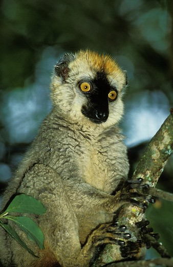 Stock Photo: 4273-3987 Brown Lemur, Eulemur Fulvus, Adult