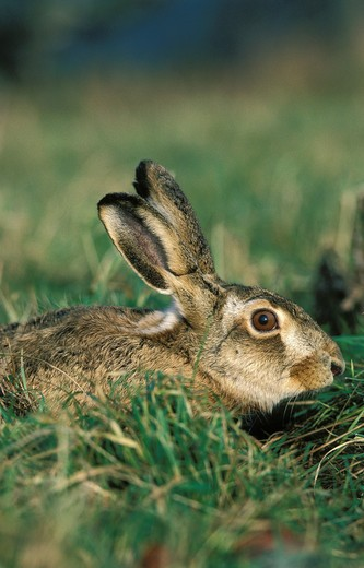 Stock Photo: 4273-4039 European Brown Hare Lepus Europaeus, Adult Hiding In Grass