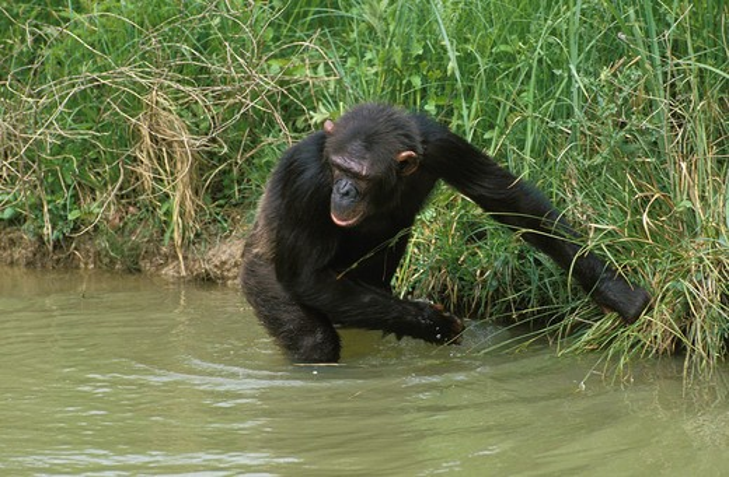 Chimpanzee Pan Troglodytes, Adult Entering Water : Stock Photo