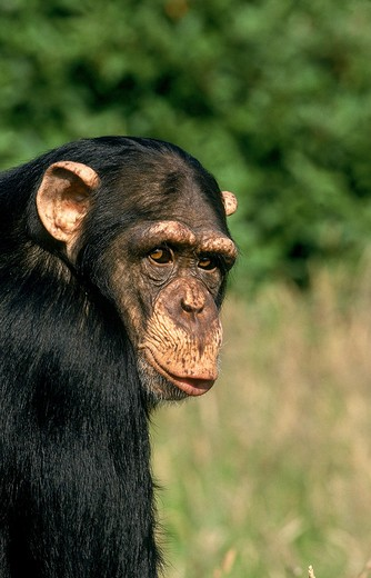 Stock Photo: 4273-4266 Chimpanzee Pan Troglodytes, Head Of Adult