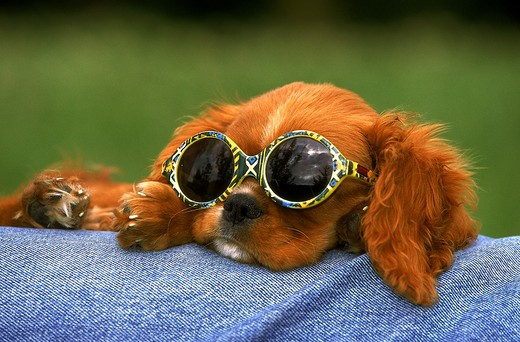 Stock Photo: 4273-4278 Cavalier King Charles Spaniel, Pup With Sunglasses