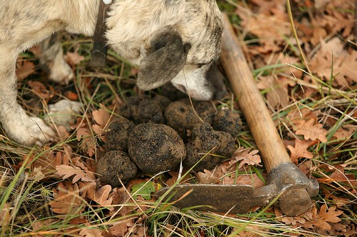 Stock Photo: 4273-4653 Truffle Dog, Truffle Gathering, Drome In South East Of France