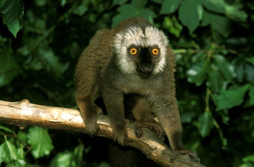 White Fronted Brown Lemur Eulemur Fulvus Albifrons, Male Standing On Branch : Stock Photo