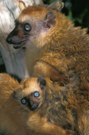 Stock Photo: 4273-5930 Black Lemur, Eulemur Macaco, Female With Young