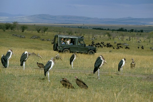 Stock Photo: 4273-5985 Tourist In 4 Wheel Drive Vehicule Watching Marabou Storks, Masai Mara Park In Kenya
