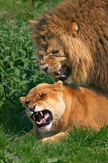 Stock Photo: 4273-6586 African Lion, Panthera Leo, Pair Mating