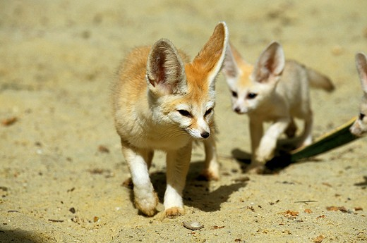 Stock Photo: 4273-6744 Fennec Or Desert Fox, Fennecus Zerda, Mother With Cub