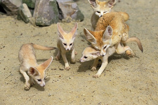 Fennec Or Desert Fox, Fennecus Zerda, Mother With Cub : Stock Photo