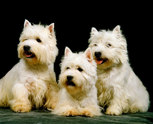 Stock Photo: 4273-6864 West Highland White Terrier, Adults