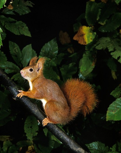 Red Squirrel Sciurus Vulgaris, Adult On Branch, France : Stock Photo