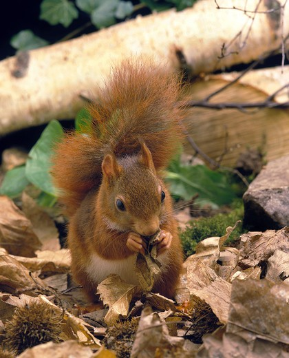 Red Squirrel Sciurus Vulgaris, Adult Feeding On Dead Leaves, France : Stock Photo