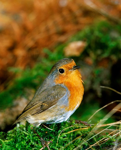 Stock Photo: 4273-6932 European Robin Erithacus Rubecula, Adult Standing On Moss, Normandy In France