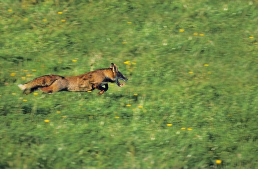 Stock Photo: 4273-7065 Red Fox Vulpes Vulpes, Adult Running, Normandy