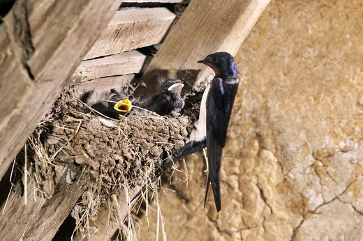 Stock Photo: 4273-7230 Barn Swallow Hirundo Rustica, Adult With Chicks In Nest, Normandy