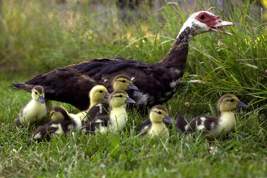 Stock Photo: 4273-7333 Muskovy Duck Cairina Moschata, Female With Ducklings