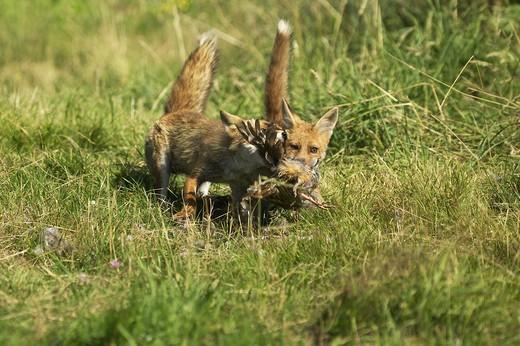 Red Fox Vulpes Vulpes, Adult Killng A Partridge, Normandy In France : Stock Photo