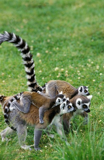 Stock Photo: 4273-7463 Ring Tailed Lemur, Lemur Catta, Female With Baby On Back