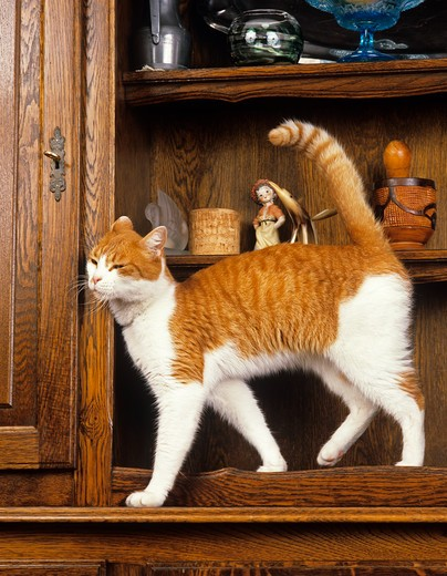 Stock Photo: 4273-7573 Red And White Domestic Cat, Adult Rubbing Head On Sideboard