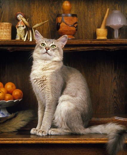Stock Photo: 4273-7621 Blue Somali Domestic Cat, Adult Sitting On Sideboard