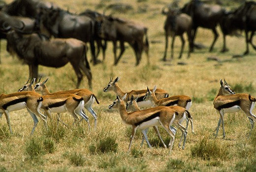 Stock Photo: 4273-7861 Thomson'S Gazelle, Gazella Thomsoni And Blue Wildebeest, Connochaetes Taurinus, Herd, Masai Mara Park In Kenya