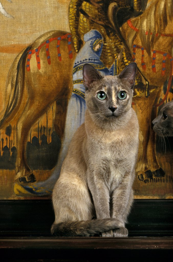 Tonkinese Domestic Cat, Adult Sitting In Front Off Tapestry : Stock Photo