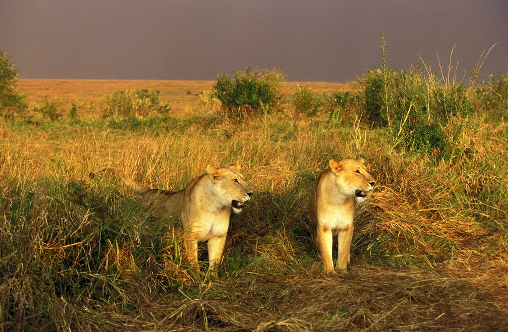 Stock Photo: 4273-8080 African Lion, Panthera Leo, Females In Savannah, Masai Mara Park In Kenya