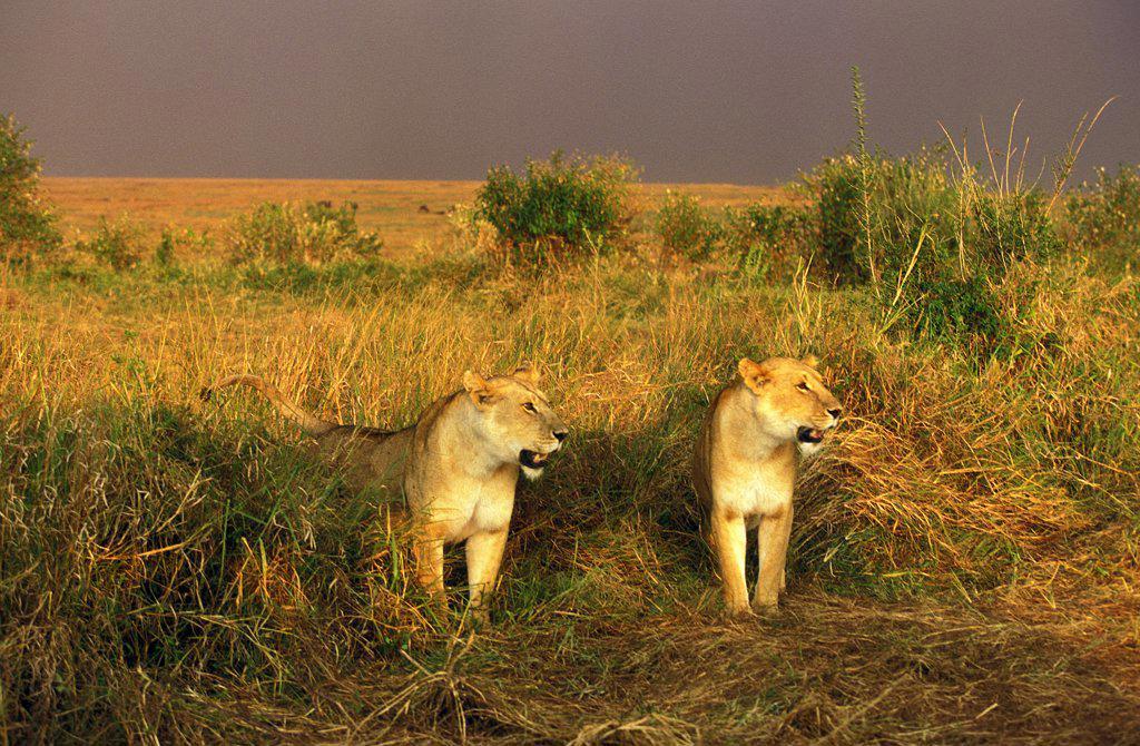 African Lion, Panthera Leo, Females In Savannah, Masai Mara Park In Kenya : Stock Photo