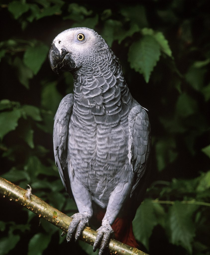 African Grey Parrot, Psittacus Erithacus, Adult Standing On Branch : Stock Photo