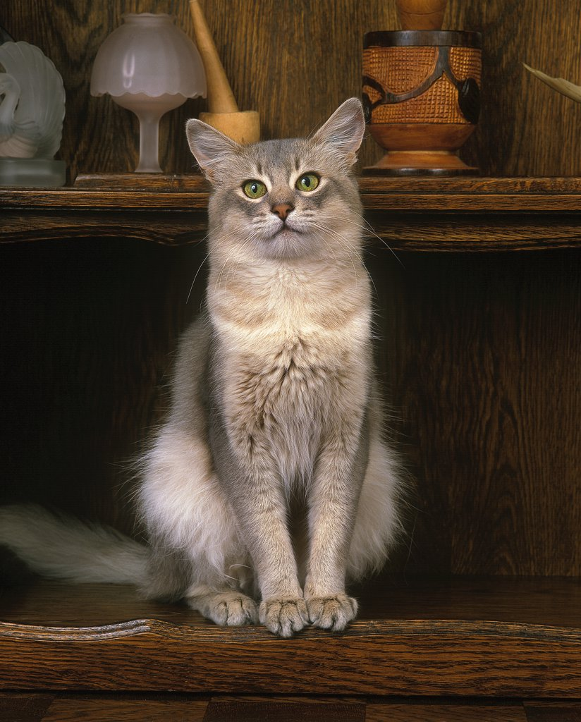 Blue Somali Domestic Cat, Adult Sitting On Sideboard : Stock Photo