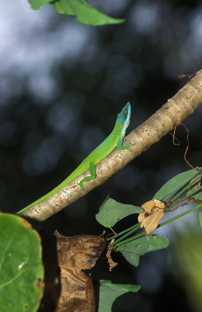 Stock Photo: 4273-8508 Green Anole Lizard Or Carolina Lizard, Anolis Carolinensis, Adult Standing On Branch
