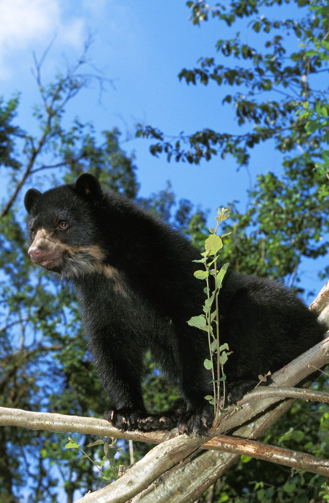 Stock Photo: 4273-8534 Spectacled Bear, Tremarctos Ornatus, Adult Standing On Branch
