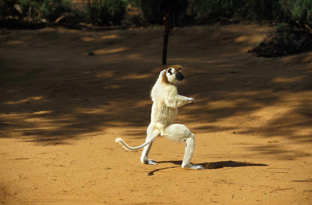 Stock Photo: 4273-8718 Verreaux'S Sifaka Propithecus Verreauxi, Berenty Reserve, Madagascar