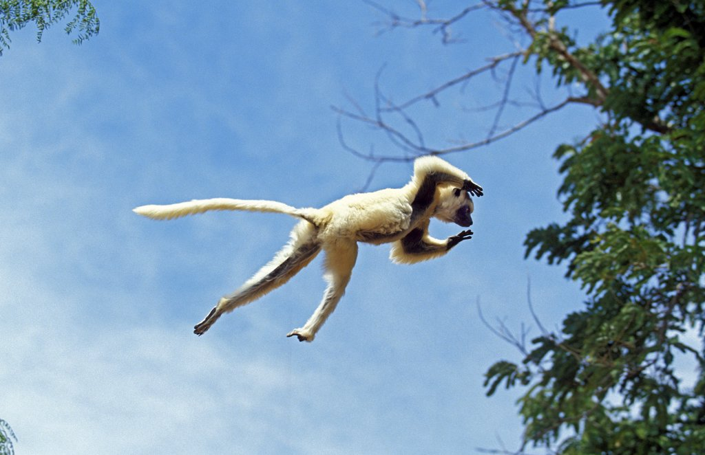 Stock Photo: 4273-8720 Verreaux'S Sifaka Propithecus Verreauxi, Adult Leaping From Tree, Berenty Reserve, Madagascar