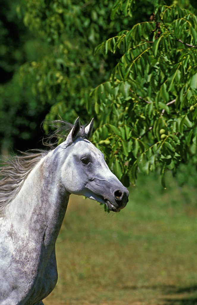 Stock Photo: 4273-8775 Arabian Horse, Portrait Of Adult