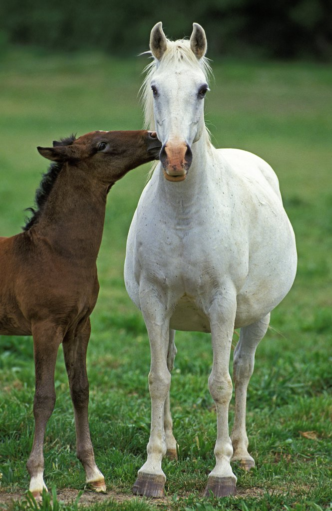 Stock Photo: 4273-8782 Lipizzan Horse, Mare With Foal