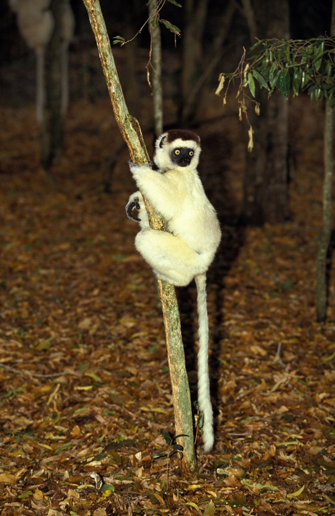 Stock Photo: 4273-8830 Verreaux'S Sifaka Propithecus Verreauxi, Berenty Reserve, Madagascar