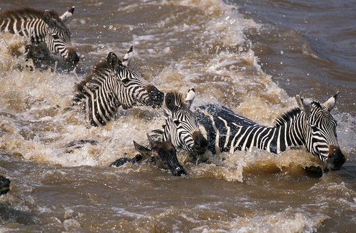 Stock Photo: 4273-8868 Burchell'S Zebra Equus Burchelli, Group Crossing Mara River, Masai Mara Park In Kenya