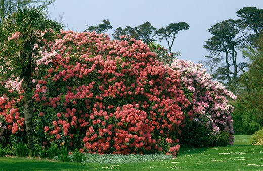 Blooming Rhododendrons, Normandy : Stock Photo
