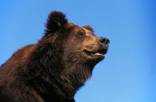 Stock Photo: 4273-9019 Brown Bear Ursus Arctos, Portrait Of Adult