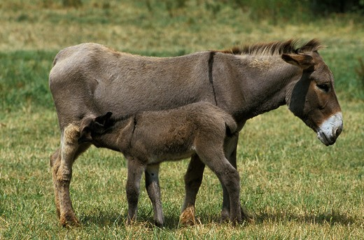 French Grey Donkey, Jenny And Foal Suckling : Stock Photo