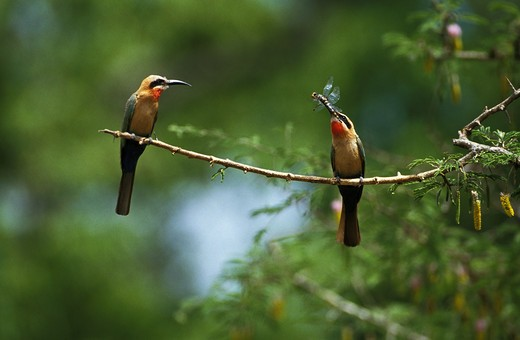 Stock Photo: 4273-9182 White Fronted Bee Eater, Merops Bullockoides, Adults Standing On Branch, Dragonfly In Beak, Kenya